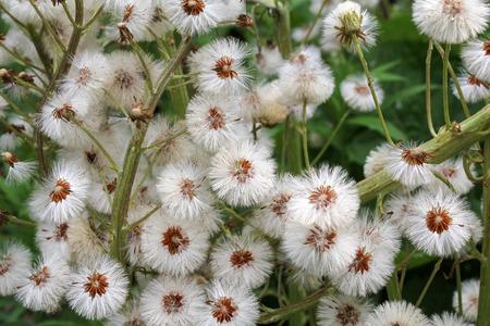 pistil: dandelions background