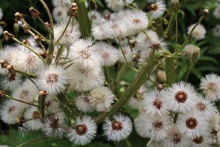 dandelions: dandelions background