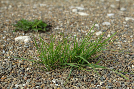 clump: clump of green grass in pebbles Stock Photo