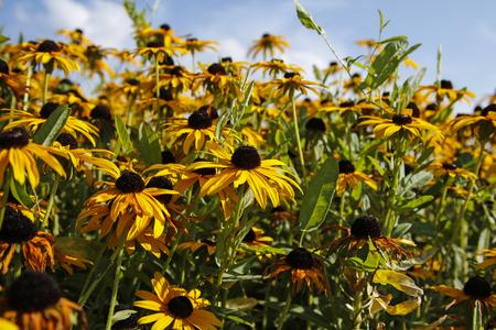 coneflowers: beautiful yellow flowers (coneflowers, black-eyed-susans) against blue sky Stock Photo