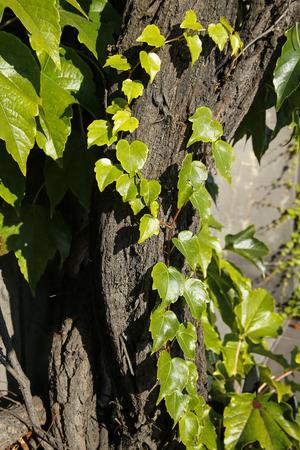 closeup of ivy vine Stock Photo