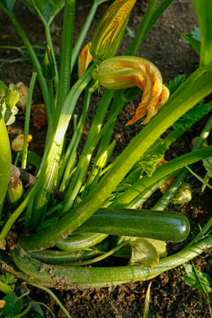 Organic zucchini plant with flowers and ripe vegatable