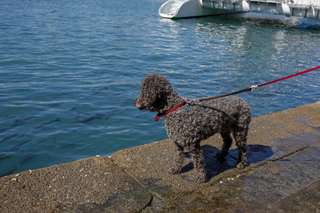 poodle dog on a leash looking at a fish in the water Stock Photo