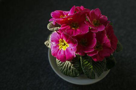pink primose flower on dark background Stok Fotoğraf