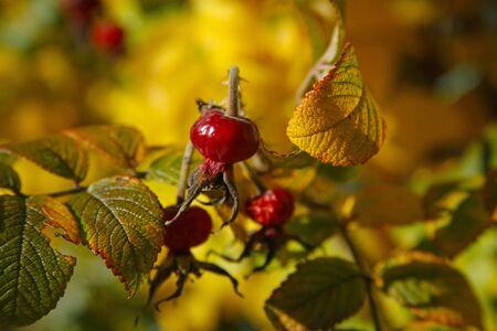 closeup of autumn rosehip tree and fruits Standard-Bild