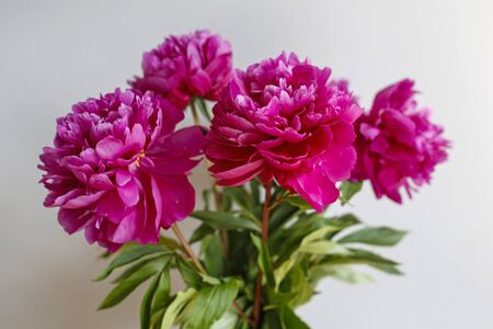 beautiful bouquet of peonies  Stok Fotoğraf