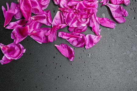 composition of pink peony flower petals on shiny black background, water drops, copy space