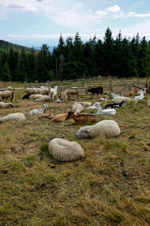 herd of goats and sheep on the mountain meadow Imagens
