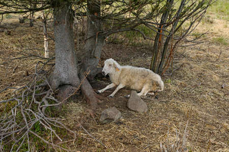 sheep lying under a tree in the mountains