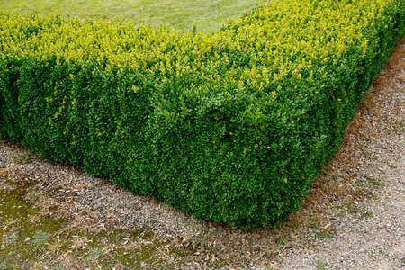 corner of green trimmed bush hedge in the park