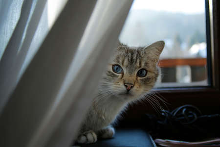 cute cat with blue eyes sitting on windowsill behind white curtain