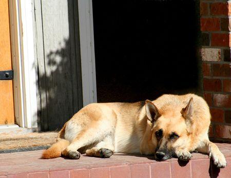 german shephard at rest
