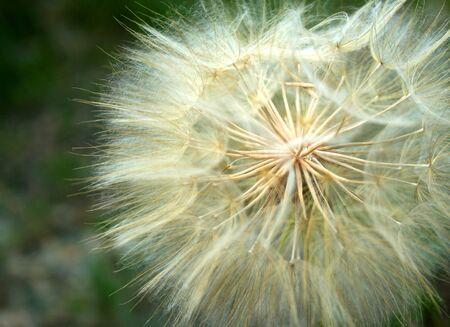 dandelion in seed Banco de Imagens