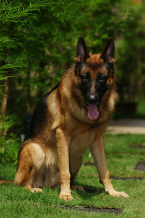alsation: A pure breed german shepherd photo taken by a telephoto lens.