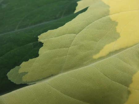 shady: Big shady leaf