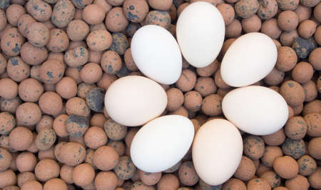 Clay pebbles for holding moisture during sprouting with eggs  photo
