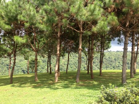 pine trees: pine trees park