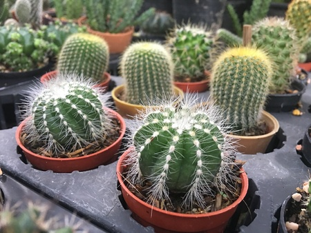 cactus in pot.domestic cactus closeup.cactuses of various grades in the Flower market. The flower market is one of sights of the city Stock Photo