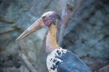 lesser: Lesser adjutant stork in the zoo