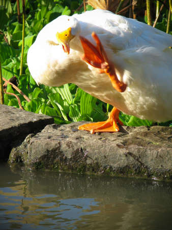 A duck stood on the stone beside the lake and patted face with feet.
