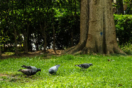 The pigeons are looking for food in the park.