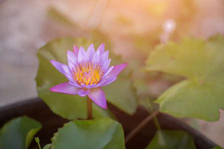 limbo: Lotus flower and Lotus flower plants Stock Photo