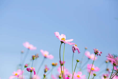 Pink and red cosmos flowers garden and soft focus Reklamní fotografie