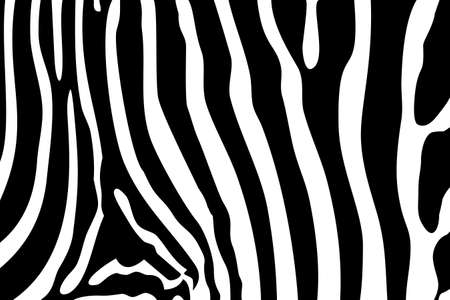 Black and white texture of zebra Vector