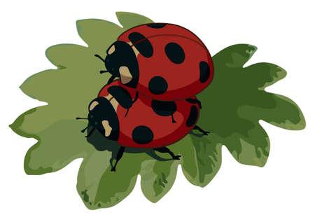 Ladybugs have sex on a leaf