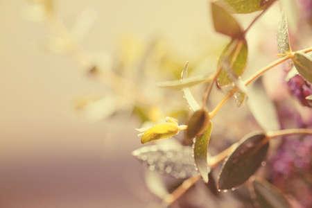 kropla deszczu: Morning leave water drop soft focus vintage tone Zdjęcie Seryjne