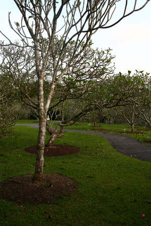 glum: View of frangipani trees with footpath in the background Stock Photo