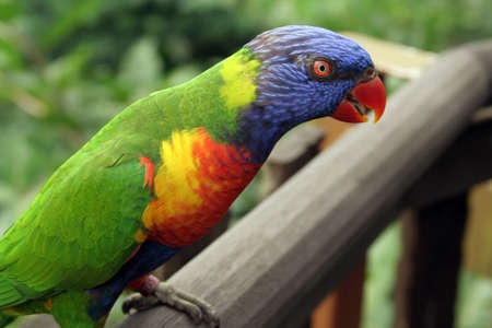 Lory standing on wooden ledge photo