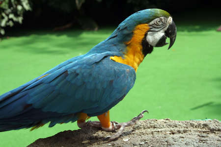 polly: Parrot standing on a rockly surface Stock Photo