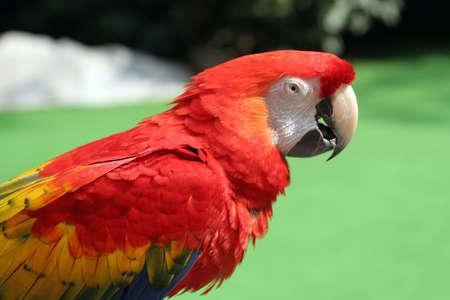 half body shot of parrot agaisnt green backdrop photo