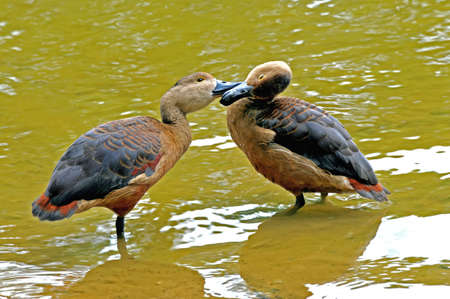 necking: pair of ducks kissing while standing in water