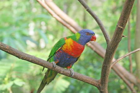 colourful lory resting on a tree branch  photo