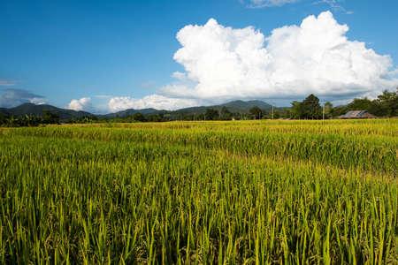 Un campo di riso in Thailandia Archivio Fotografico - 70902796