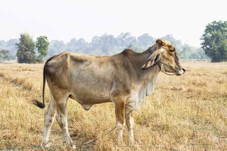 cows with wide field of thailand photo