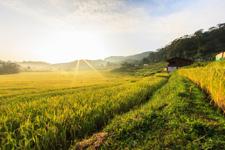 field flower: Paddy green and gold Rice Fields in Thailand