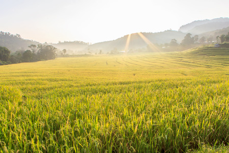 Paddy green and gold Rice Fields in Thailand