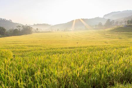 Paddy groene en gouden rijstvelden in Thailand