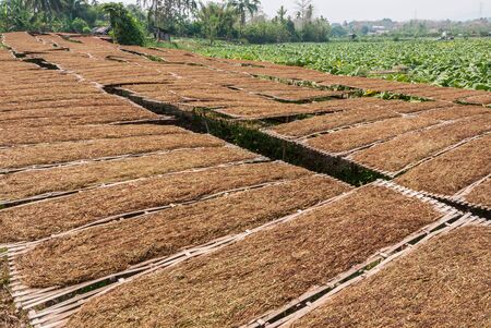 producers: Tobacco farmers and producers in Thailand