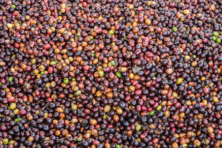robusta: Robusta coffee seeds produced in Thailand Stock Photo