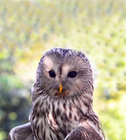 ural owl: Ural owl close-up Portrait sitting