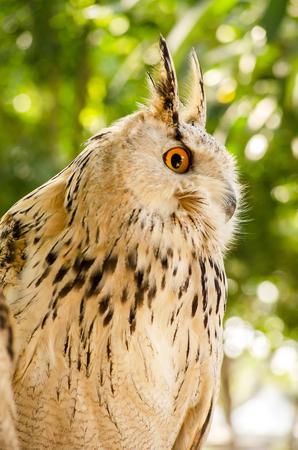bird eating raptors: Eagle Owl ( Eurasian eagle-owl) Close up Stock Photo