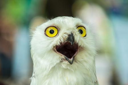 snowy owl: Snowy Owl Bubo Scandiaca A cute look