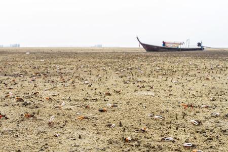 fiddler: Fiddler Crab walking in the mangrove