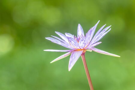 lotus flower: lotus flower A beautiful white waterlily in pond Stock Photo
