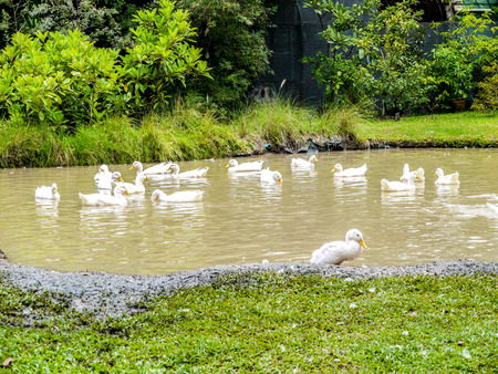 cackle: White ducks swimming in the pond Stock Photo