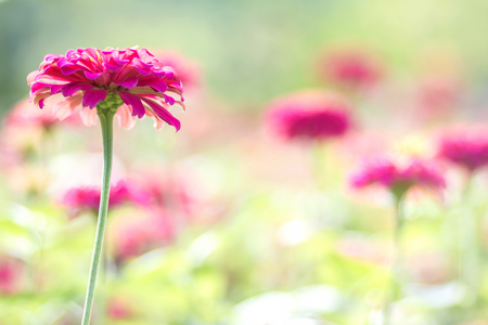 background design: Pink daisy gerbera flowers with blurred background Stock Photo